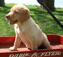 Lab in Little Radio Flyer Wagon by tawaslake