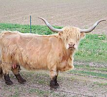 Long-Haired Cow - Scottish Highland by Nora Caswell