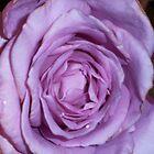 Purple Rose by Solar Zorra