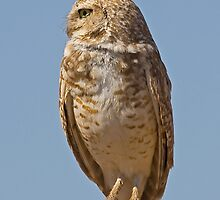 052909 Burrowing Owl by Marvin Collins