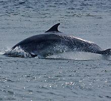Dolphin Roll by kernuak