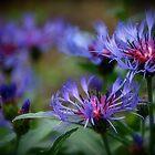 Cornflowers by Jeannette Sheehy