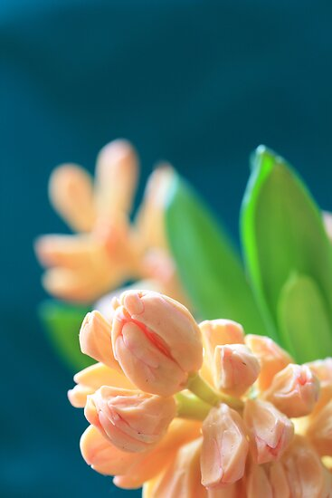 Peachy Hyacinth by RA-Photography