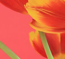 Pastel Tulips by RA-Photography