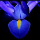 Blue Iris by Jorge's Photography