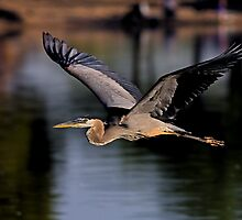 053009 Great Blue Heron by Marvin Collins