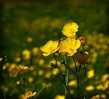 Buttercups by Bev Evans