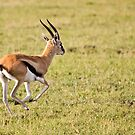 Thomson Gazelle by Nickolay Stanev