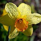 Daffodil #1 by Teresa Zieba