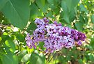 Lovely Lilac by WalnutHill