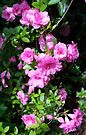 Spring Pinks - Azalea by WalnutHill