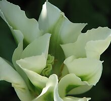White Beauty - Tulip by Hans Bax