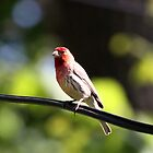 Finch on Wire by Delany Dean