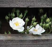 White little roses by Hans Bax