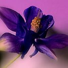 Purple Aquilegia by ienemien