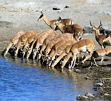 Black-faced Impala Drinking by Graeme  Hyde