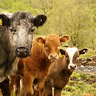 Group of Cows in Scotland by Sturmlechner