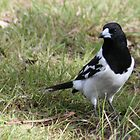 Australian - Pied Butcher Bird by Veilstreasures