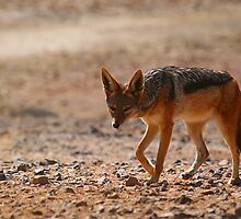 Black Back Jackal, Nambia by MacLeod