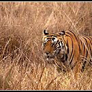 Tiger at Kanha national park  by Shaun Whiteman