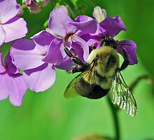 Phlox and the Bumble Bee by lilcanuk