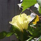 cotton tree flower  by tannyskori