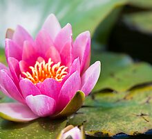 water lilly by peterwey