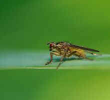 Fly on a Leaf in a Peebles Garden by photobymdavey