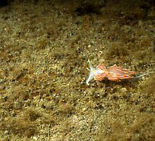 Horned Nudibranch by Greg Amptman