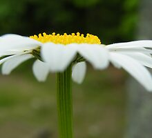 Pushing up daisies by terralee