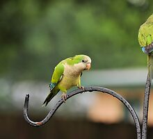 Quaker Parrots by Jeff Ore
