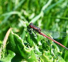 Large Red Damselfly (Pyrrhosoma nymphula) by Laura Kelk