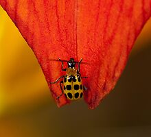Spotted Cucumber Beetle by Bonnie T.  Barry