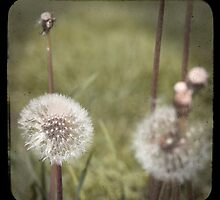 "Dandelions - ""faux"" TTV by Patrick Hickey"