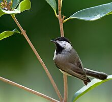Chickadee in Sweet Olive by Bonnie T.  Barry