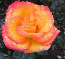 rain drops on roses by greyrider