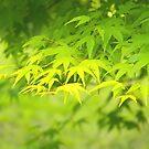 Maple  by komashyaru