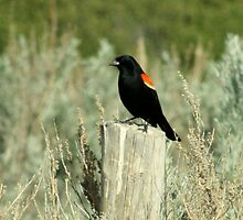 Redwinged black Bird... for David by tuffcookie