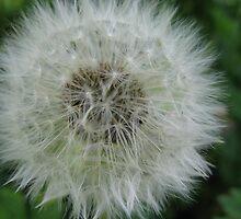 dandelion by dawnpeace