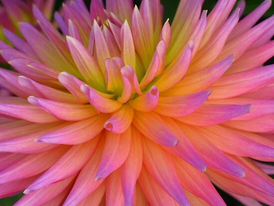 Rainbow coloured Dahlia by Marilyn Harris
