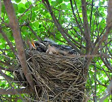 Nest of baby Robins  by Jan  Tribe
