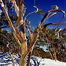 Iced Snowgums on Mt Baw Baw, Gippsland, Victoria by Bev Pascoe