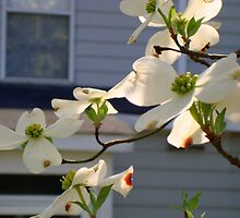 Backyard Dogwood - (SMALLTOWN USA series) ^ by ctheworld