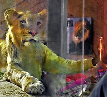 Man and lion communicating at San Diego Zoo by milton ginos