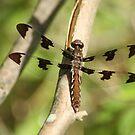 Resting (Dragonfly) by rasnidreamer