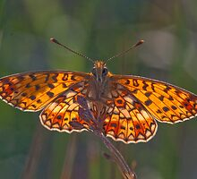 Backlit small pearl-bordered fritillary by lepreskil