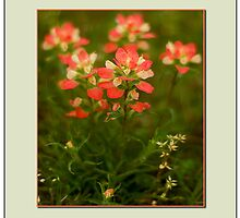 Indian Paintbrush by ChrisBaker