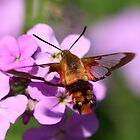 Hummingbird Moth by Renee Dawson