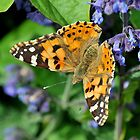 Painted Lady by John Hooton