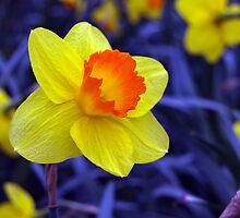 Daffodil by Twilight by Jayne Tucker